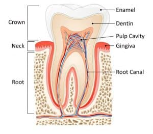 Smoke After Tooth Extraction tooth anatomy
